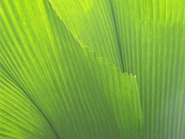 Fan palm leaves.