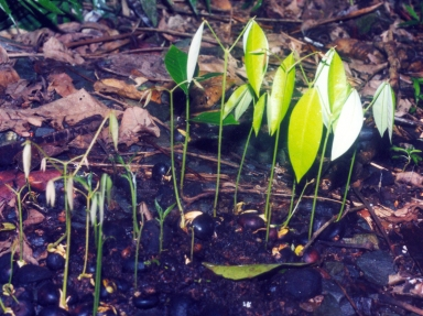 Seeds germinating in Cassowary dung pile