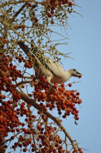 A Torresian Imperial dove eating the fruits of a Carpentaria palm.