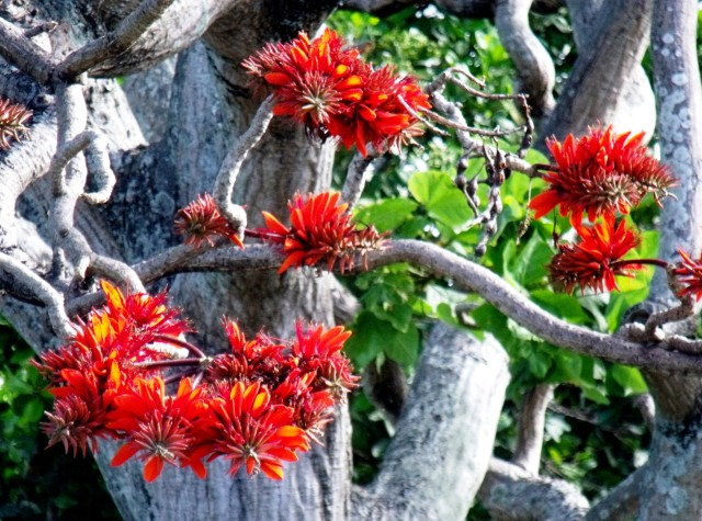 Coral tree, Erythrina indica
