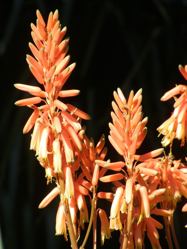 Aloes make good fire-retardant hedges, and stockproof living fences/stockpens.