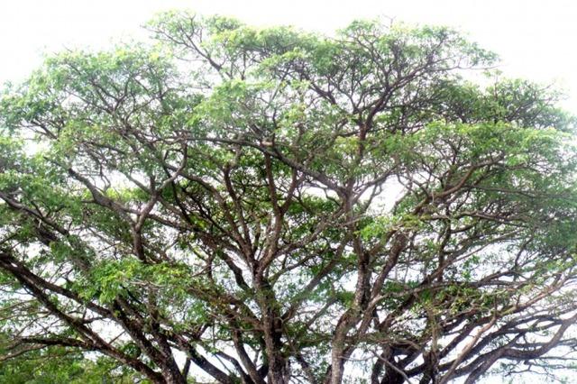 A rain tree.