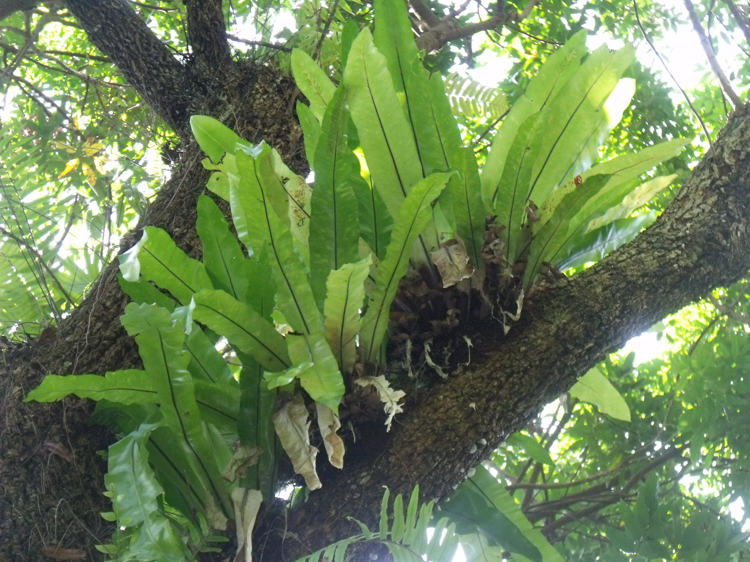 Birds Nest Fern Japanese Related Keywords - Birds Nest ... Ruffled Birds Nest Fern