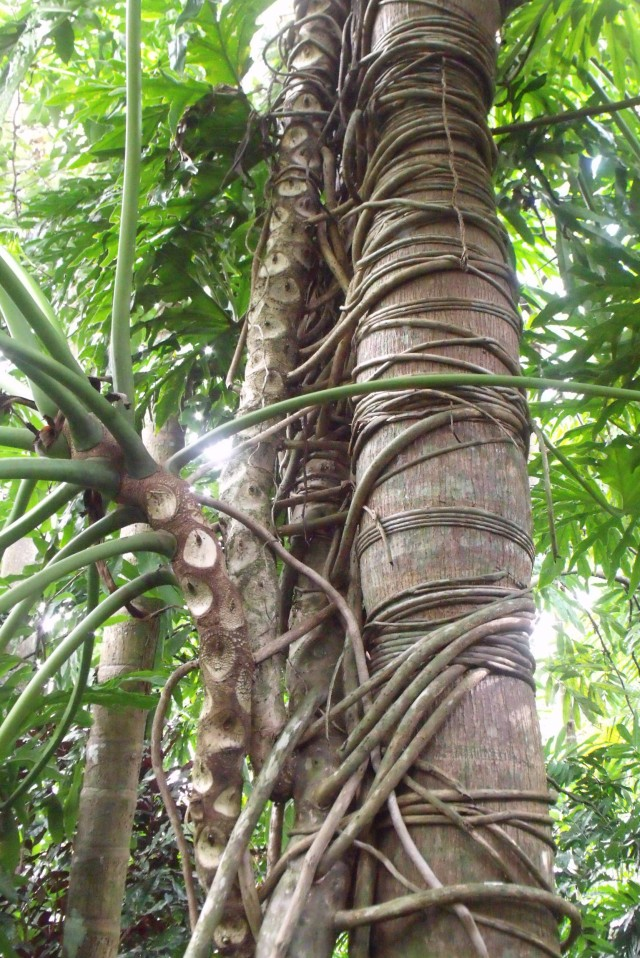 This foxtail palm, Wodyetia bifurcata, has survived decades of strangulation by the Philodendron.