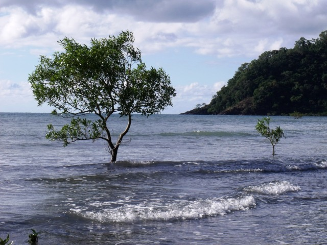 Mangrove trees growing in the sea at high tide, Cape Tribulation.