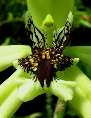 The Black orchid, Coelogyne pandurata.