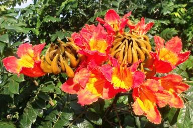 African tulip tree Spathodea campanulata