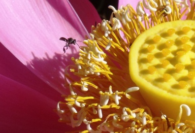 A small native Australian bee visiting a Lotus lily flower.