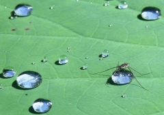 """""""I know I live in the middle of a lake, but this is my drop of water!"""" Water Strider, Freshwater lake, Centenary Lakes, Cairns, Australia."""
