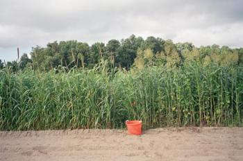 Sorghum-sudan grass plus Lablab purpureus (right of bucket). The Lablab bean appears to be complementary to the grass, and the combination is fixing more carbon/producing more biomass. plus nitrogen-fixation. Phot: Mark Schonbeck, extension.org.