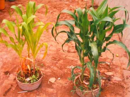 maize grown with human urine. On the right - 3:1 mix water:urine, .5 litres, 3 x week. Photo: Peter Morgan. Sept. 2002, Harare.