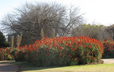 Aloe arborescens hedge, Johannesburg. Photo: JonRichfield, Wikimedia.org.