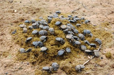 Dung beetles, Namibia. Dung beetles dig tunnels into the soil and incorporate the dung, improving the soil in numerous ways. Photo: Wikimedia.org.