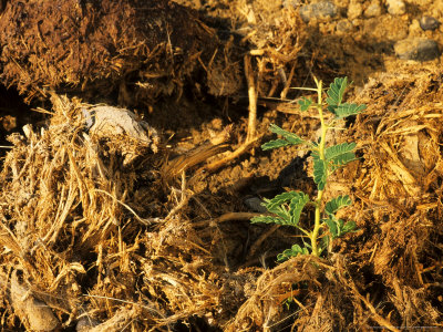 An Acacia seedling germinating in elephant dung. Photo: creating-a-new-earth.blogspot.com.