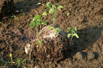 Legume seedlings germinating in Asian elephant dung, Myanmar (Burma). Photo: Ahimsa Campos-Arceiz. news.mongabay.com.