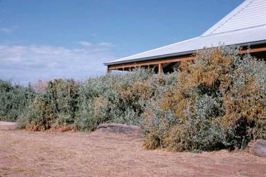 A hedge of Atriplex nummularia, a low-flammability plant, provides a house with some protection from fire. Photo: M. Fagg.