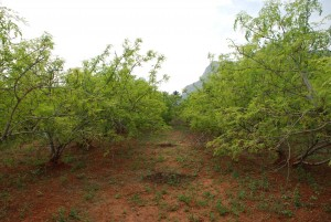 Moringa oleifera trees. These may grow well around an arborloo, providing nutrient rich drumsticks and leaves. Photo: moring-seeds.com.