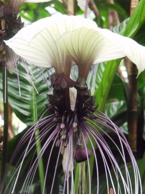 "BThe weird and wonderful Bat flower, Tacca integrifolia. The large white ""petals"" at the top are supposed to be like the wings of a bat, with whiskers hanging down."