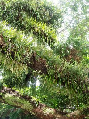 Epiphytes growing on a rain tree.