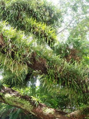 Epiphytes growing on a rain tree.