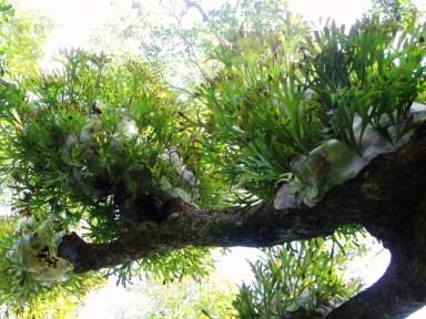 Elkhorn ferns.