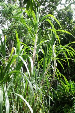 Lowland pitpit Saccharum edule, is an example of a large, fast-growing grass that can be grown from stem cuttings pushed into the ground.
