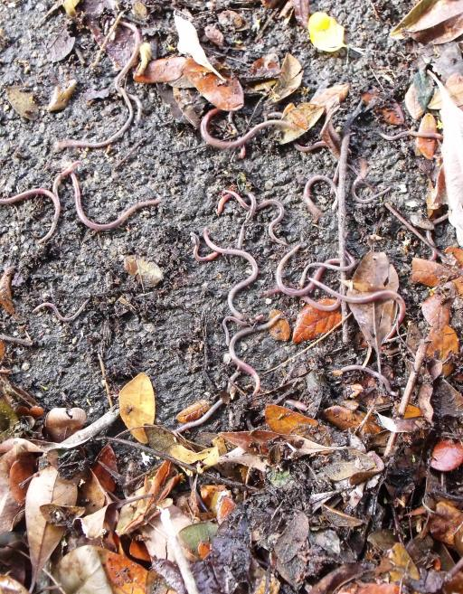 Earthworms.