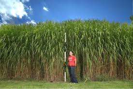 Miscanthus X giganteus. A grass that fixes high rates of carbon, and can be grown in colder climates e.g. Germany, U. K., USA. Photo: grass, iscleaner.blogspot.com