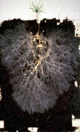 Mycorrhizal fungi, pine seedling. Photo: aberdeenmycorrhizas.com.