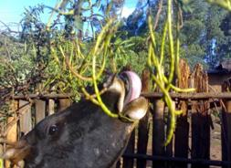 Cow eating Sesbania seed pods. Photo: esgpip.org.