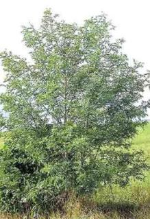 Sesbania sesban - a fast-growing, nitrogen fixing African tree, popular in mixed improved fallows.. Photo: banana-tree.com.