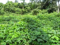 Mucuna pruriens can be used as a cover crop, adding organic matter, nitrogen, and suppressing weeds. Photo: Internationalministries.org.