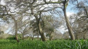 Maize grown under Faidherbia trees. Photo: learningenglish.voanews.com.