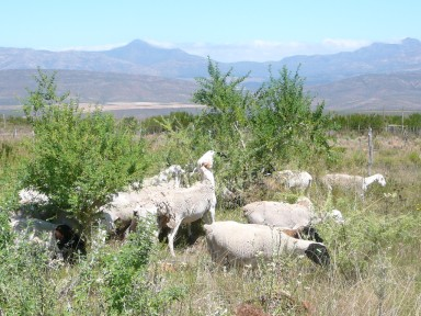Sheep feeding on tree lucerne (Tagasaste) in South Africa. Photo: Myles Esterhuizen, Lucernetreefarm.WordPress.com.