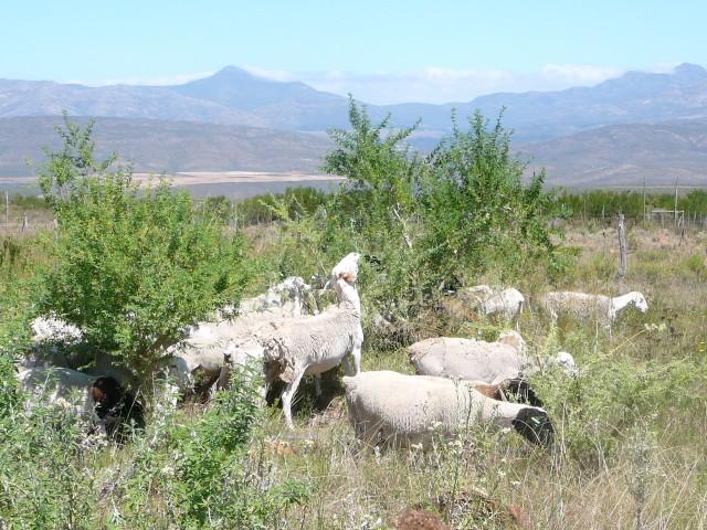 p1120728 tagasaste sheep