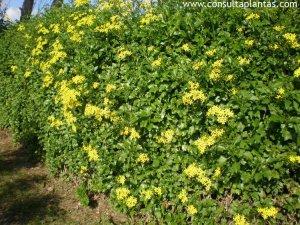 Senecio angulatus (Senecio tamoides), succulent climber. Photo: consultaplantas.com.