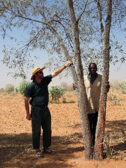 Acacia torulosa, arborescent form, Sahel region, West Africa. Photo: Tony Rinaudo. Worldwidewattle.com.