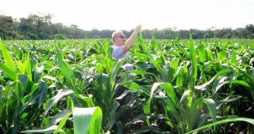 Maize field with biochar. Photo: biochar.info.