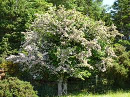 Hawthorn, Crataegus monogyna. Photo: commons.wikimedia.org.