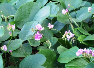 Canavalia rosea, a nitrogen-fixing groundcover.