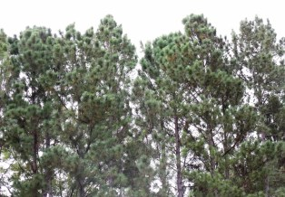 Pinus caribaea windbreak.