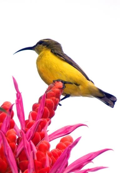 A sunbird visits Aphelandra sinclaireana for nectar.