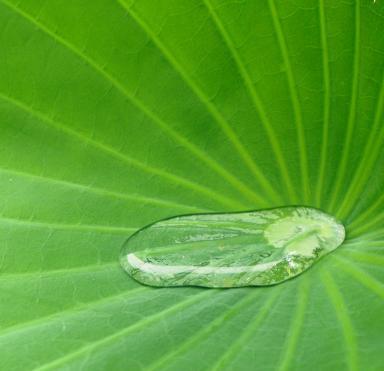 Rain water, lotus lily leaf.