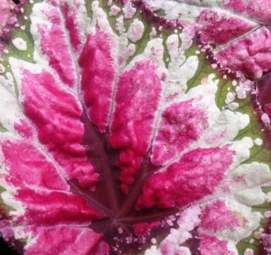 Begonia leaf.