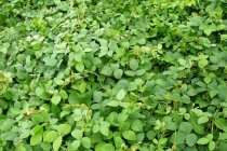 A legume ground cover.