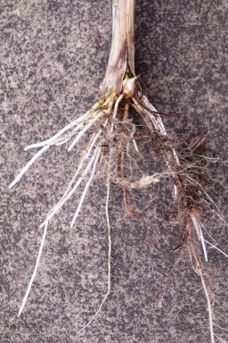 Napier grass Pennisetum purpureum is easily grown from cuttings. The photo shows a side shoot broken of at ground level, which has a bud which would shoot, and roots growing already.