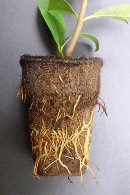 Roots growing through a coconut fibre pot.