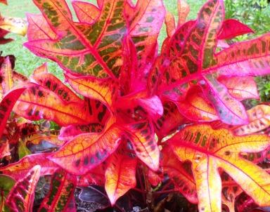 Croton.