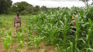 The potential of livestock concentrated in a small area to improve soil and plant growth. Maize control plot on the left (no livestock), and livestock treated plot on the right. Photo: Buckminster Fuller Institute.