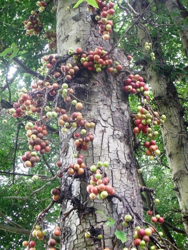 Ficus racemosa.